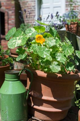 tuin oost-indische kers-0276