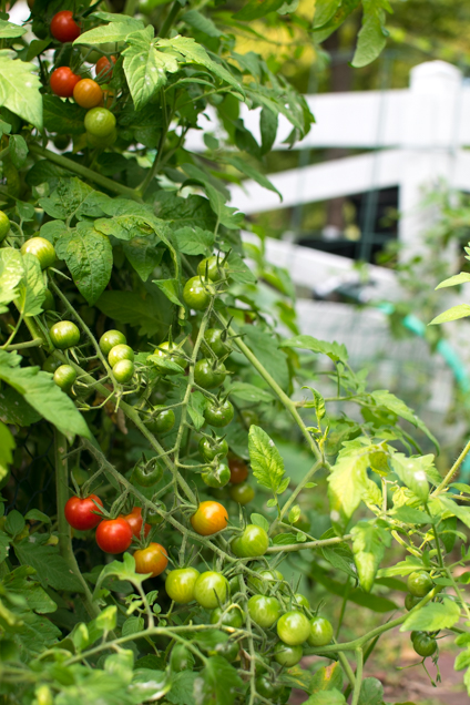 tomaten-1496-2