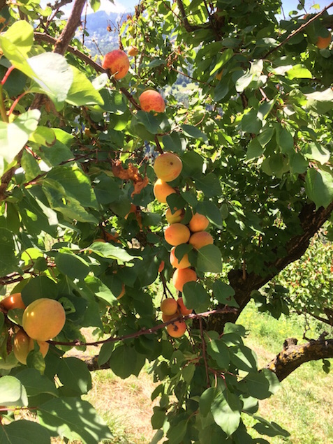 apricots in switzerland