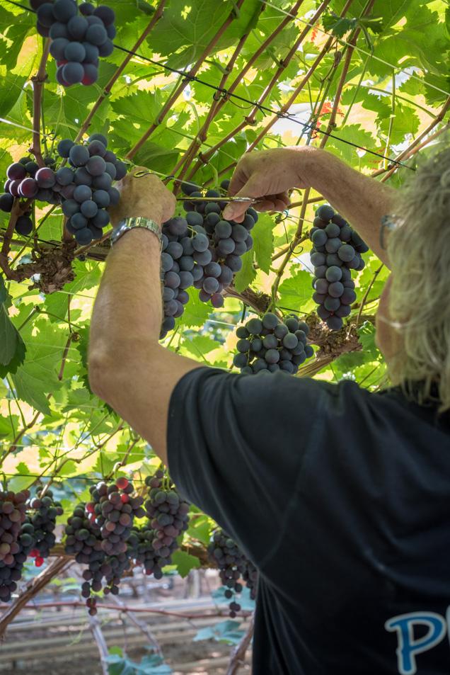druivenpluk 1-3756
