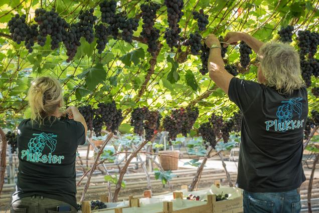 druivenpluk 2-3755