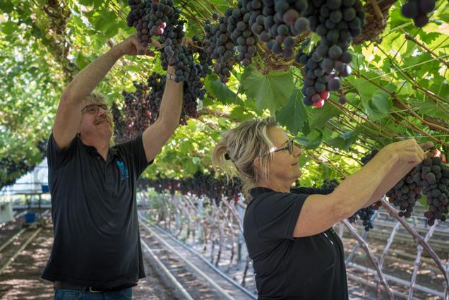 druivenpluk 3-3761